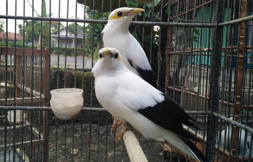 Download Suara Burung Jalak Putih