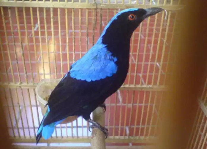 Download Suara Burung Cucak Biru